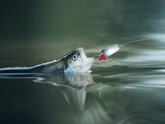 Forellenangeln mit Blinker