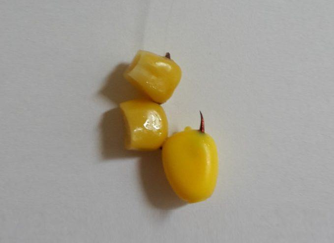 Der Mais als Forellenköder