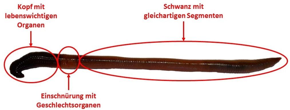 Der Wurm als Forellenköder - Forellenteich-Angeln