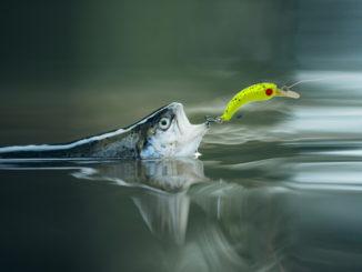 Forellenangeln mit Wobbler
